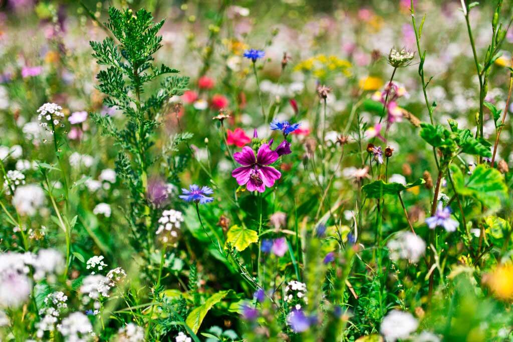 Łąka kwietna dla pszczół