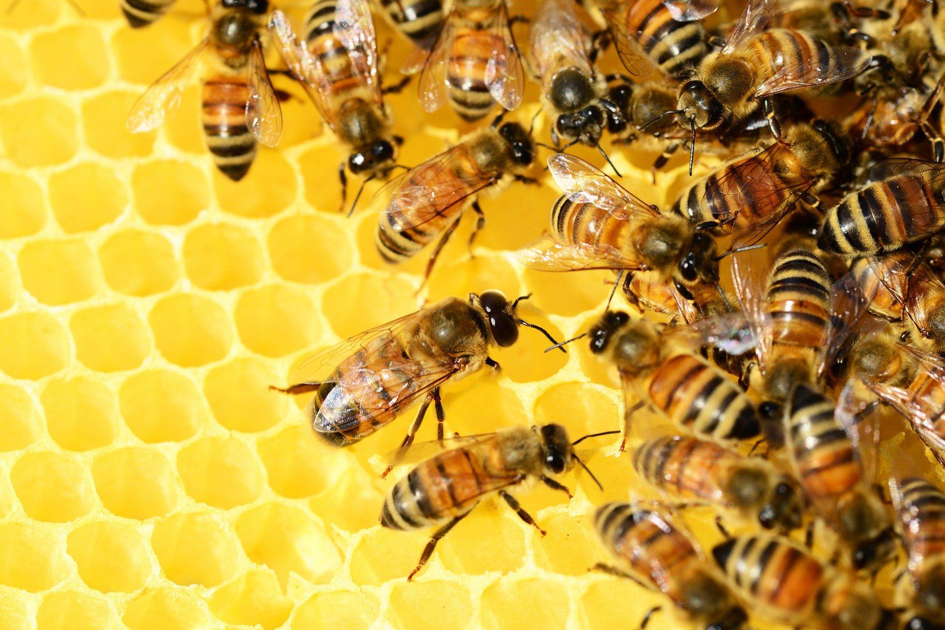 Pszczoły miód spadziowy